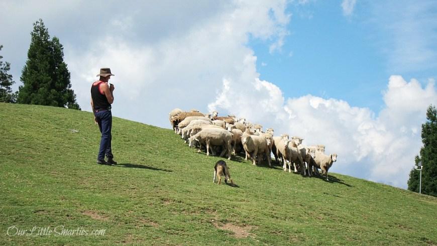 Cingjing Sheep Show 4