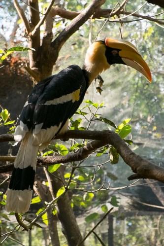 Great hornbill at the botanical gardens. Pyin Oo Lwin