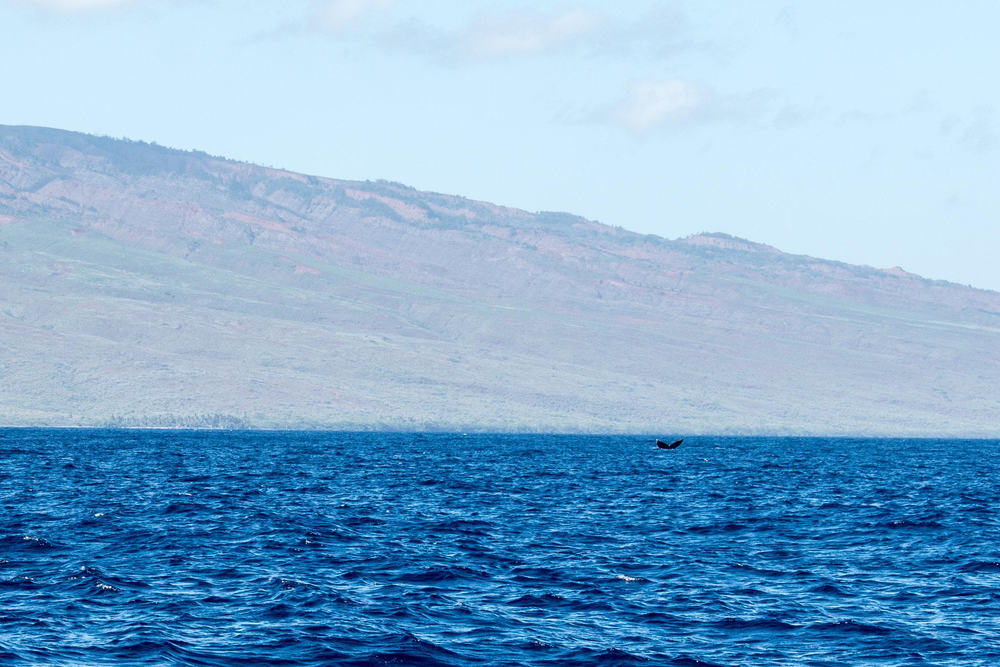 MauiWhaleWatching