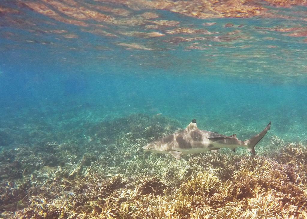 Black tip reef shark off of Pigeon Island.