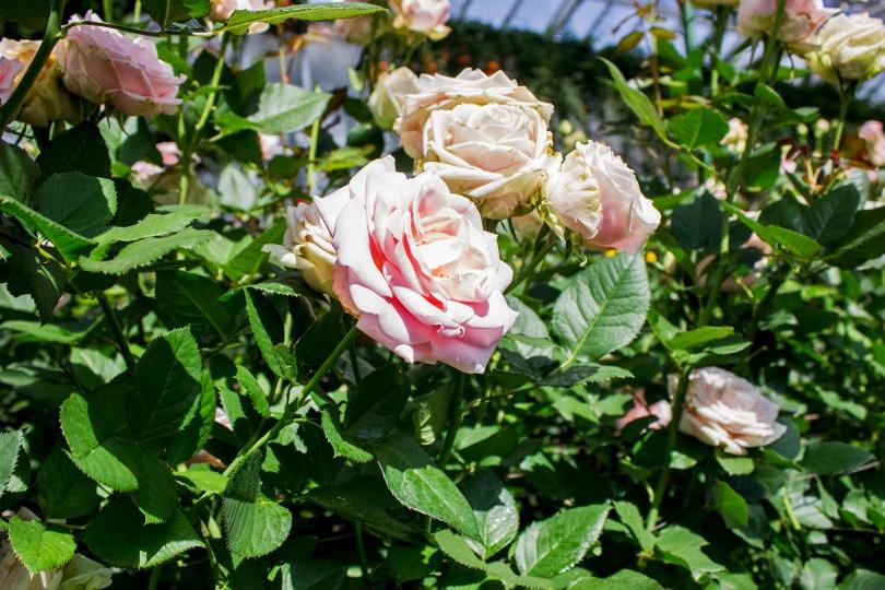 longwood-roses-bloomed
