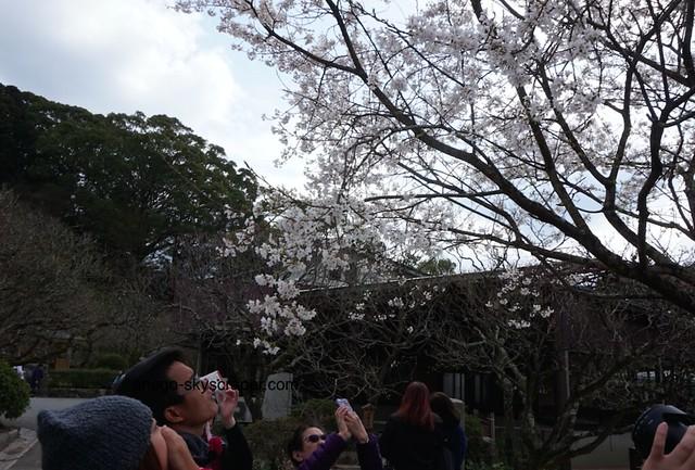 中国人観光客、桜に見入る
