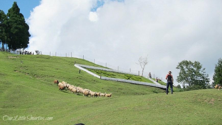 Cingjing Sheep Show 3