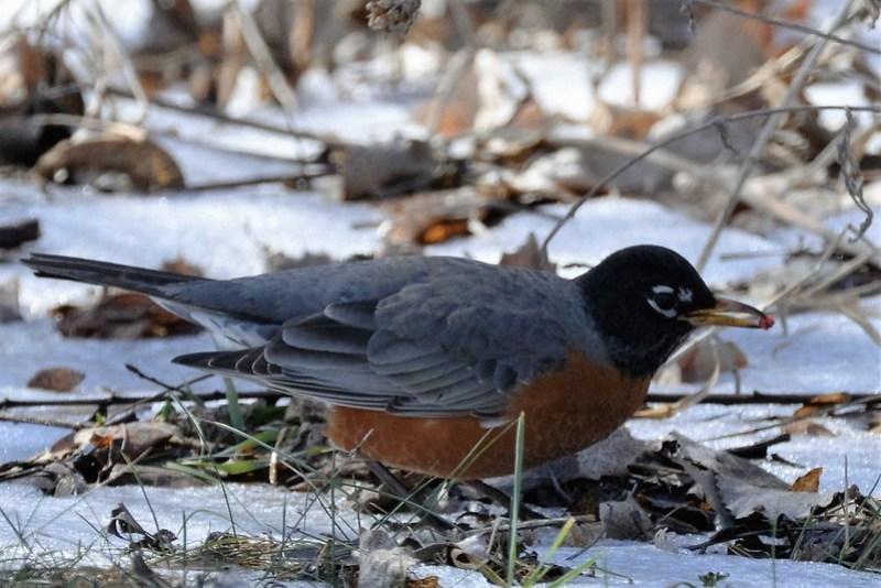 _DSC3489 American Robin