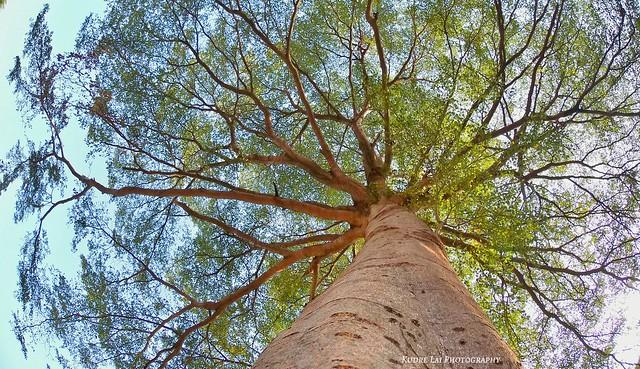 大樹仰望(look up at tree )