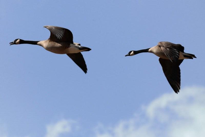 _DSC3388 Canada Goose