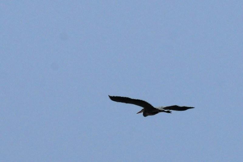 _DSC3660 Great Blue Heron