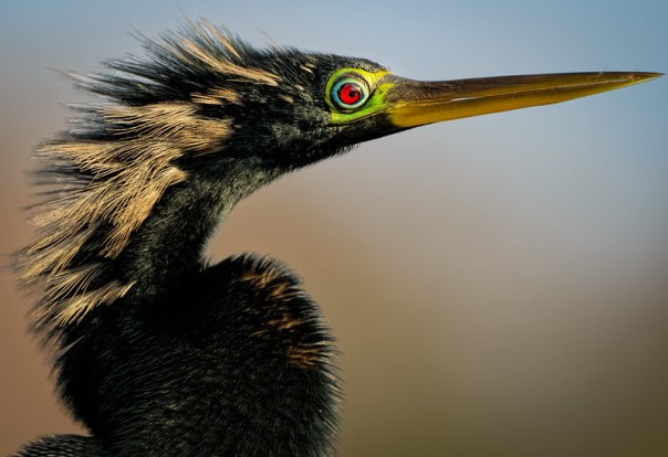 Anhinga - head shot