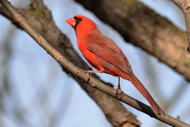 _DSC5983 Northern Cardinal (m)
