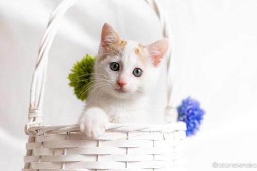 アトリエイエネコ Cat Photographer 41810037185_507b320ec2 1日1猫!おおさかねこ俱楽部 里親様募集中の山Pくん♪ 1日1猫!  高槻ねこのおうち 里親様募集中 猫写真 猫カフェ 猫 子猫 大阪 写真 保護猫カフェ 保護猫 ニャンとぴあ カメラ おおさかねこ倶楽部 Kitten Cute cat