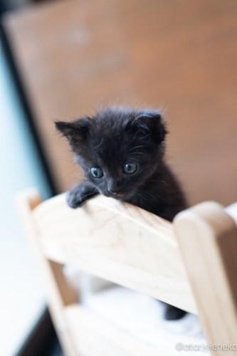 アトリエイエネコ Cat Photographer 41810963175_4657e13495 1日1猫!CaraCatCafe 里親様募集中のうにちゃん! 1日1猫!  里親様募集中 箕面 猫写真 猫カフェ 猫 子猫 大阪 写真 保護猫カフェ 保護猫 スマホ カメラ Kitten Cute cat caracatcafe