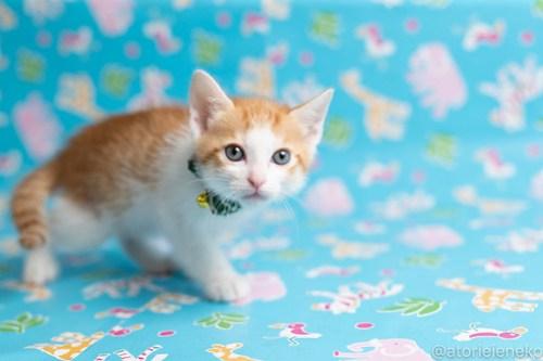 アトリエイエネコ Cat Photographer 27663658097_b9ef86ae05 1日1猫!保護猫カフェねこんチ子猫祭り(6/2)に行ってきた(その2)♪ 1日1猫!  里親様募集中 猫写真 猫カフェ 猫 子猫 大阪 初心者 写真 保護猫カフェ 保護猫 スマホ カメラ Kitten Cute cat