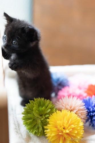 アトリエイエネコ Cat Photographer 27841736877_c29f1132ab 1日1猫!CaraCatCafe 里親様募集中のうにちゃん! 1日1猫!  里親様募集中 箕面 猫写真 猫カフェ 猫 子猫 大阪 写真 保護猫カフェ 保護猫 スマホ カメラ Kitten Cute cat caracatcafe
