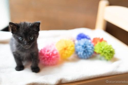 アトリエイエネコ Cat Photographer 42710649931_e165e22a51 1日1猫!CaraCatCafe 里親様募集中のうにちゃん! 1日1猫!  里親様募集中 箕面 猫写真 猫カフェ 猫 子猫 大阪 写真 保護猫カフェ 保護猫 スマホ カメラ Kitten Cute cat caracatcafe