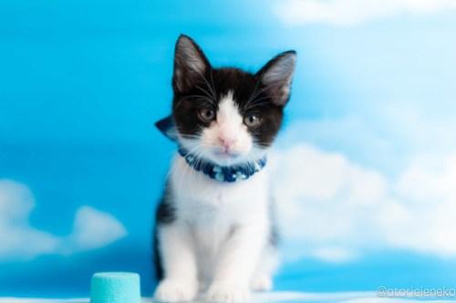 アトリエイエネコ Cat Photographer 42125531794_6df90f6fb7 1日1猫!おおさかねこ俱楽部 里親様募集中のアトムくん♪ 1日1猫!  里親様募集中 猫写真 猫カフェ 猫 子猫 大阪 初心者 写真 保護猫カフェ ハチワレ ニャンとぴあ カメラ おおさかねこ倶楽部 Kitten Cute cat