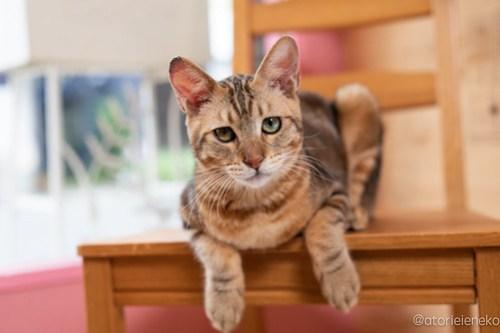 アトリエイエネコ Cat Photographer 28836148588_3e3decb6dc 1日1猫!おおさかねこ俱楽部 里親様募集中のブラウニーくん♪ 1日1猫!  里親様募集中 猫写真 猫カフェ 猫 子猫 大阪 初心者 写真 保護猫カフェ 保護猫 カメラ おおさかねこ倶楽部 Kitten Cute cat