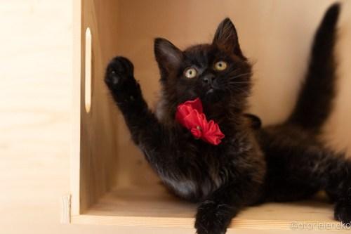 アトリエイエネコ Cat Photographer 28970450658_334e258ce6 1日1猫!おおさかねこ俱楽部 トライアル決定のコロンちゃん♪ 1日1猫!  黒猫 里親様募集中 猫写真 猫カフェ 猫 子猫 大阪 初心者 写真 保護猫カフェ 保護猫 ニャンとぴあ スマホ カメラ おおさかねこ倶楽部 Kitten Cute cat