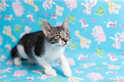 アトリエイエネコ Cat Photographer 41811543914_26cc31387e 1日1猫!保護猫カフェねこんチ子猫祭り(6/2)に行ってきた(その3)♪ 1日1猫!  里親様募集中 猫写真 猫カフェ 猫 子猫 大阪 写真 保護猫カフェねこんチ 保護猫カフェ 保護猫 スマホ カメラ Kitten Cute cat