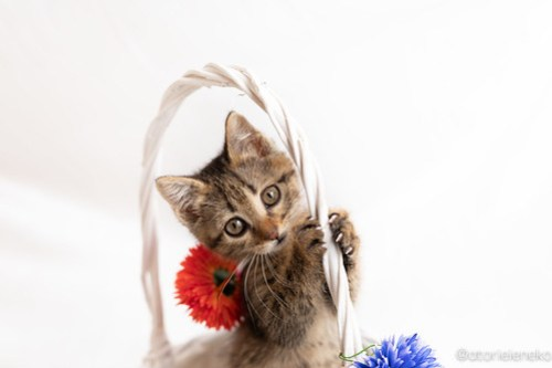 アトリエイエネコ Cat Photographer 41810044905_3476ce0bb1 1日1猫!おおさかねこ俱楽部 里親様募集中のルナちゃん♪ 1日1猫!  里親様募集中 猫写真 猫カフェ 猫 子猫 大阪 初心者 写真 保護猫カフェ 保護猫 ニャンとぴあ スマホ キジ猫 カメラ おおさかねこ倶楽部 Kitten Cute cat