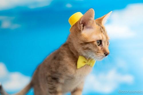 アトリエイエネコ Cat Photographer 27974339997_1c991f977c 1日1猫!おおさかねこ俱楽部 里親様募集中のグレンくん♪ 1日1猫!  里親様募集中 猫写真 猫カフェ 猫 子猫 大阪 初心者 写真 保護猫カフェ 保護猫 ニャンとぴあ スマホ キジ猫 カメラ おおさかねこ倶楽部 Kitten Cute cat