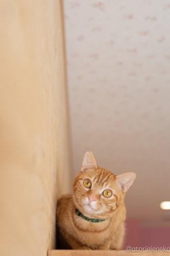 アトリエイエネコ Cat Photographer 41942391545_16567f0f30 1日1猫ニャンとぴあ 新入りくりちゃん♪ 1日1猫!  里親様募集中 猫写真 猫カフェ 猫 子猫 大阪 写真 保護猫カフェ 保護猫 ニャンとぴあ スマホ カメラ おおさかねこ倶楽部 Kitten Cute cat