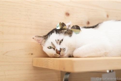 アトリエイエネコ Cat Photographer 41632263785_edb89d2dc1 1日1猫ニャンとぴあ グラサンタラちゃん♪ 1日1猫!  里親様募集中 猫写真 猫カフェ 猫 子猫 大阪 初心者 写真 保護猫カフェ 保護猫 ニャンとぴあ カメラ Kitten Cute cat