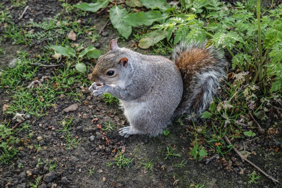 uno scoiattolo di Hyde Park