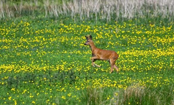 Roe Deer Buck