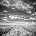 champ de blé (INFRARED)