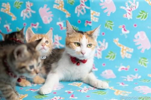 アトリエイエネコ Cat Photographer 42534349671_2ccefd0134 1日1猫!保護猫カフェねこんチ子猫祭り(6/2)に行ってきた(その1)♪ 1日1猫!  里親様募集中 猫カフェ 猫 子猫 大阪 初心者 写真 保護猫カフェねこんチ 保護猫カフェ 保護猫 スマホ カメラ Kitten Cute cat