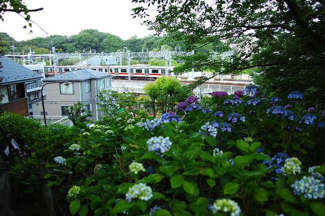 多摩川台公園のアジサイ