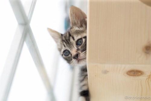 アトリエイエネコ Cat Photographer 42337321702_c32d321225 1日1猫!高槻ねこのおうち まだまだいるよ子猫達! 1日1猫!  高槻ねこのおうち 里親様募集中 猫写真 猫カフェ 猫 子猫 大阪 初心者 写真 保護猫カフェ 保護猫 キジ猫 カメラ Kitten Cute cat