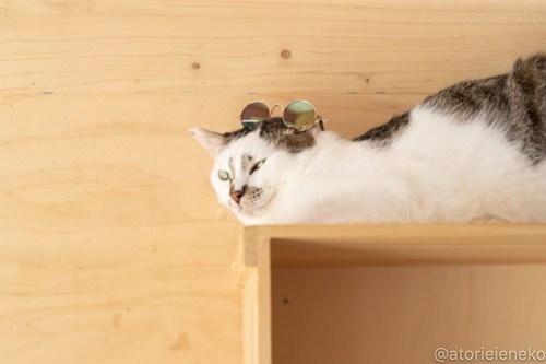 アトリエイエネコ Cat Photographer 41632264615_f49e88d55f 1日1猫ニャンとぴあ グラサンタラちゃん♪ 1日1猫!  里親様募集中 猫写真 猫カフェ 猫 子猫 大阪 初心者 写真 保護猫カフェ 保護猫 ニャンとぴあ カメラ Kitten Cute cat