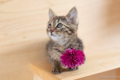 アトリエイエネコ Cat Photographer 41991251964_bf3e8068ae 1日1猫!おおさかねこ俱楽部 里親様募集中のシンバくん♪ 1日1猫!  里親様募集中 猫写真 猫カフェ 猫 子猫 大阪 初心者 写真 保護猫カフェ 保護猫 ニャンとぴあ スマホ キジ猫 カメラ おおさかねこ倶楽部 Kitten Cute cat