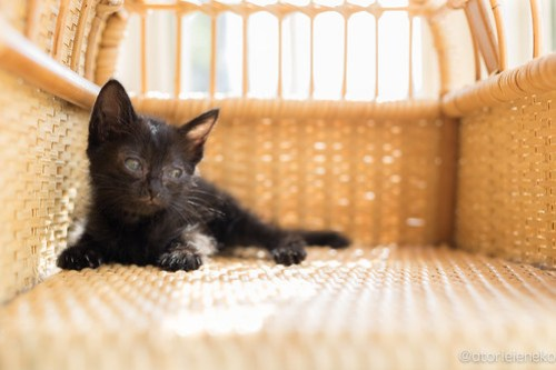 アトリエイエネコ Cat Photographer 41484341255_770b2d70a6 1日1猫!高槻ねこのおうち まだまだいるよ子猫達! 1日1猫!  高槻ねこのおうち 里親様募集中 猫写真 猫カフェ 猫 子猫 大阪 初心者 写真 保護猫カフェ 保護猫 キジ猫 カメラ Kitten Cute cat