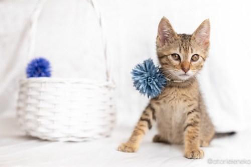 アトリエイエネコ Cat Photographer 40898956070_b316697948 1日1猫!おおさかねこ俱楽部 里親様募集中のオリバーくん♪ 1日1猫!  里親様募集中 猫写真 猫カフェ 猫 子猫 大阪 写真 保護猫カフェ 保護猫 ニャンとぴあ スマホ キジ猫 カメラ おおさかねこ倶楽部 Kitten Cute cat