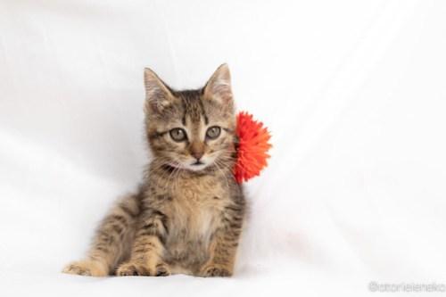 アトリエイエネコ Cat Photographer 40899773920_61a6432823 1日1猫!おおさかねこ俱楽部 里親様募集中のルナちゃん♪ 1日1猫!  里親様募集中 猫写真 猫カフェ 猫 子猫 大阪 初心者 写真 保護猫カフェ 保護猫 ニャンとぴあ スマホ キジ猫 カメラ おおさかねこ倶楽部 Kitten Cute cat