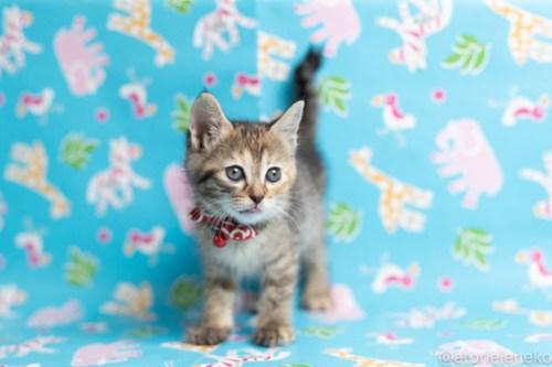 アトリエイエネコ Cat Photographer 42534350911_6b505aa53a 1日1猫!保護猫カフェねこんチ子猫祭り(6/2)に行ってきた(その2)♪ 1日1猫!  里親様募集中 猫写真 猫カフェ 猫 子猫 大阪 初心者 写真 保護猫カフェ 保護猫 スマホ カメラ Kitten Cute cat