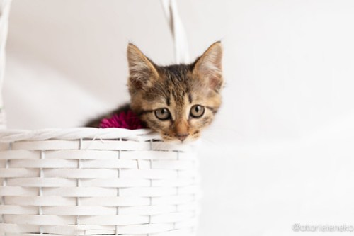 アトリエイエネコ Cat Photographer 27840762077_0c7db45fae 1日1猫!おおさかねこ俱楽部 里親様募集中のシンバくん♪ 1日1猫!  里親様募集中 猫写真 猫カフェ 猫 子猫 大阪 初心者 写真 保護猫カフェ 保護猫 ニャンとぴあ スマホ キジ猫 カメラ おおさかねこ倶楽部 Kitten Cute cat