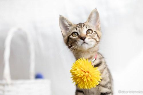 アトリエイエネコ Cat Photographer 28835945568_b0963a6b3b 1日1猫!おおさかねこ俱楽部 里親様募集中のハタくん♪ 1日1猫!  里親様募集中 猫写真 猫カフェ 猫 子猫 大阪 初心者 写真 保護猫カフェ 保護猫 ニャンとぴあ キジ猫 おおさかねこ倶楽部 Kitten Cute cat