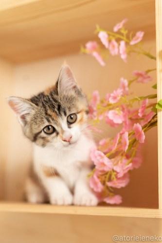 アトリエイエネコ Cat Photographer 41811604434_15dedaabb7 1日1猫!おおさかねこ俱楽部 里親様募集中のトマトちゃん♪ 1日1猫!  里親様募集中 猫写真 猫カフェ 猫 子猫 大阪 初心者 写真 保護猫カフェ 保護猫 ニャンとぴあ カメラ おおさかねこ倶楽部 Kitten Cute cat
