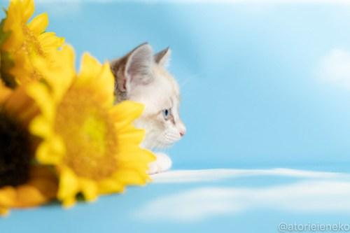 アトリエイエネコ Cat Photographer 41632196635_a0124d0ffa 1日1猫!おおさかねこ俱楽部 トライアル決定のレタス、パセリ、トマトちゃん♪ 1日1猫!  里親様募集中 猫写真 猫カフェ 猫 子猫 大阪 保護猫カフェ 保護猫 ニャンとぴあ スマホ カメラ おおさかねこ倶楽部 Kitten Cute cat
