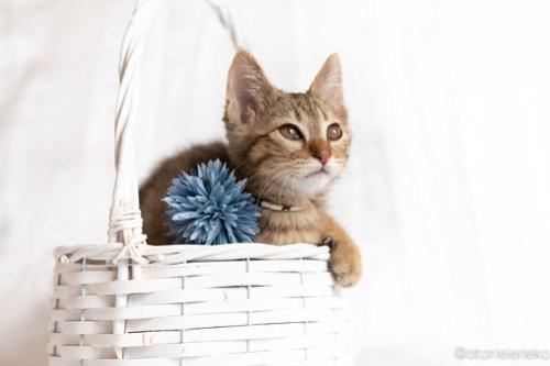アトリエイエネコ Cat Photographer 41809298875_4cabaee6e6 1日1猫!おおさかねこ俱楽部 里親様募集中のオリバーくん♪ 1日1猫!  里親様募集中 猫写真 猫カフェ 猫 子猫 大阪 写真 保護猫カフェ 保護猫 ニャンとぴあ スマホ キジ猫 カメラ おおさかねこ倶楽部 Kitten Cute cat