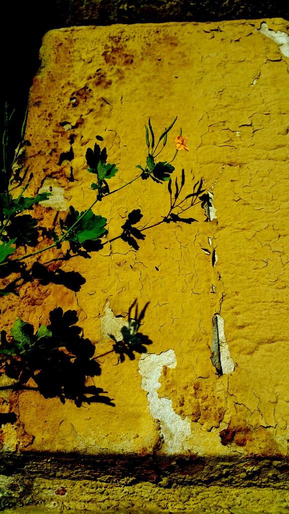 Fleur de muraille près de Saint-Lazare