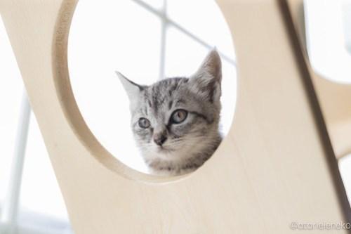 アトリエイエネコ Cat Photographer 41484308395_e693fb72ea 1日1猫!高槻ねこのおうち まだまだいるよ子猫達! 1日1猫!  高槻ねこのおうち 里親様募集中 猫写真 猫カフェ 猫 子猫 大阪 初心者 写真 保護猫カフェ 保護猫 サビ猫 Kitten Cute cat