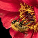 Bee on a Dahlia Bloom