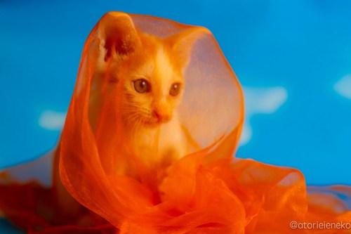 アトリエイエネコ Cat Photographer 41438664720_6e23b75ba7 1日1猫!おおさかねこ俱楽部 里親様募集中のモヒカンくん♪ 1日1猫!  里親様募集中 猫写真 猫カフェ 猫 子猫 大阪 初心者 写真 保護猫カフェ 保護猫 ニャンとぴあ スマホ カメラ おおさかねこ倶楽部 Kitten Cute cat