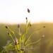 coucher de soleil sur un champ de lin