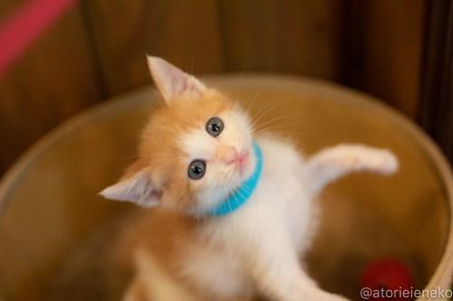 アトリエイエネコ Cat Photographer 41595671620_cec2116a33 1日1猫!CaraCatCafe天使に会いに行って来ました♪ 1日1猫!  里親様募集中 猫 子猫 大阪 初心者 写真 保護猫カフェ 保護猫 スマホ カメラ Kitten Cute cat caracatcafe
