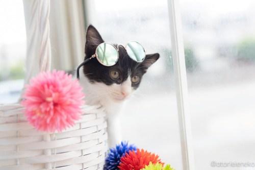 アトリエイエネコ Cat Photographer 42557186134_3af1460863 1日1猫!高槻ねこのおうち 里親様募集中のけんちゃん♪ 1日1猫!  高槻ねこのおうち 里親様募集中 猫写真 猫カフェ 猫 子猫 大阪 写真 ハチワレ Kitten Cute cat